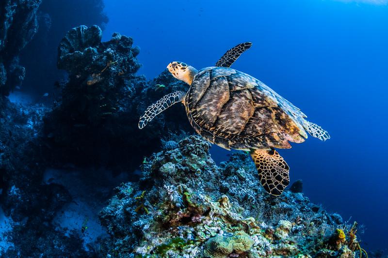 Cardonna Reef, Cozumel, Palancar Gardens, Palancar Horseshoe, Tormentos/Bolones, Turtle