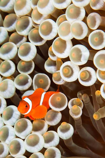 Indonesia, Liberty Wreck Slough, Tulamben, Clown Fish