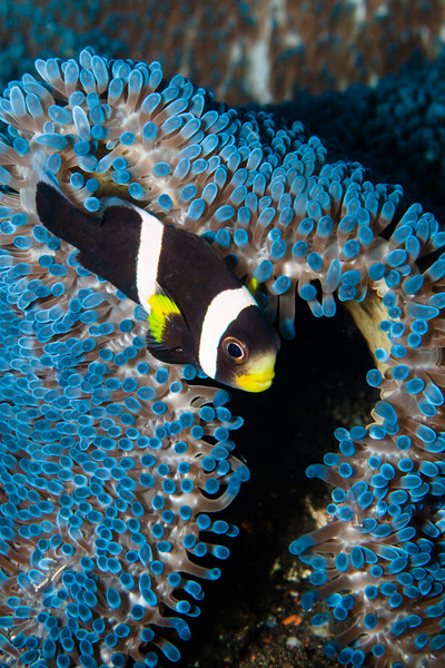 coral gardens, Indonesia, Tulamben, clown fish