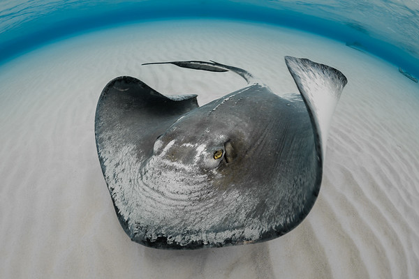 Grand Cayman, Sand Bar, stingray (s)
