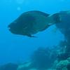 SUPERMALE PARROT FISH