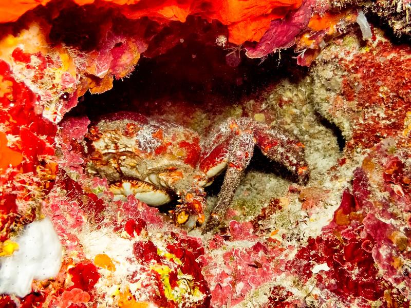 Mithrax sp.   Clinging Crab