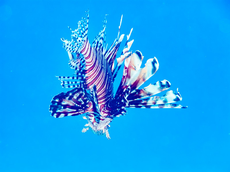 Free swimming  invasive Lionfish