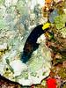 Yellowtail Damselfish  Intermediate stage