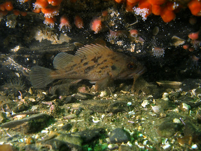 Juvenile Brown Rockfish on Tajiguas reef