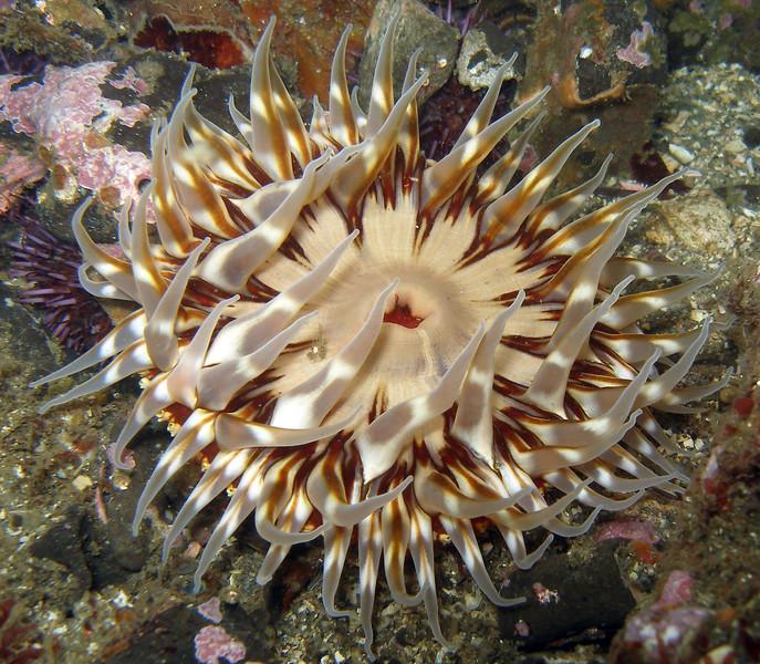 Anemone, Naples Reef, Santa Barbara, CA