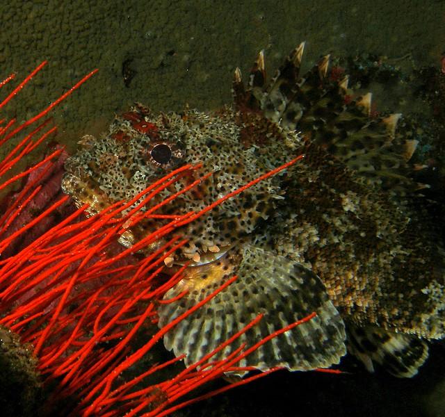 Californian Scorpionfish
