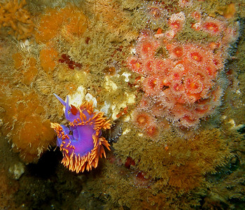 Spanish Shawl Nudibranch and Corynactis Californica