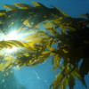 Sunburst Kelp