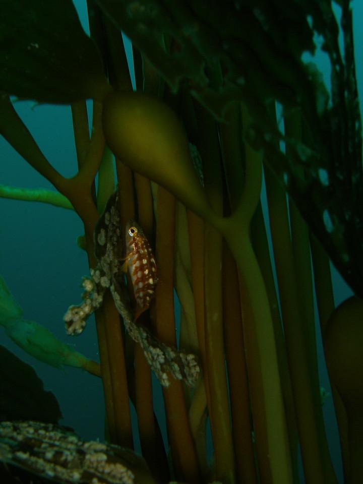 Juvenile Kelp Bass