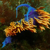 Spanish Shawl Nudibranch