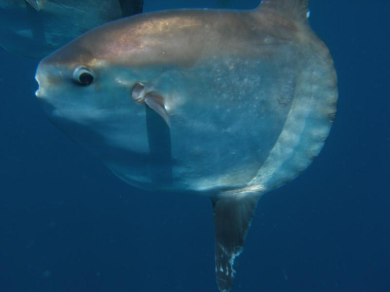 Mola Mola closeup, Santa Barbara Channel, CA