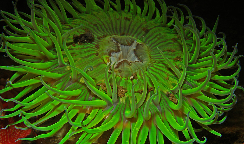 Solitary Green Anemone