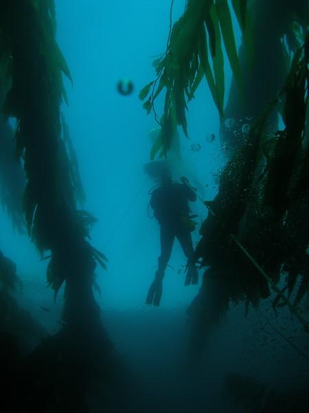 Diver at Yellowbanks, Santa Cruz Island, CA