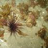 Sand Anemone, Santa Cruz Island, CA
