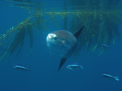 Mola Mola skims the surface