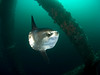pelagic Mola Mola or sunfish swimming through oil rig to get cleaned of parasites by the fish that live on the rig