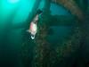 Big male sheephead swimming over