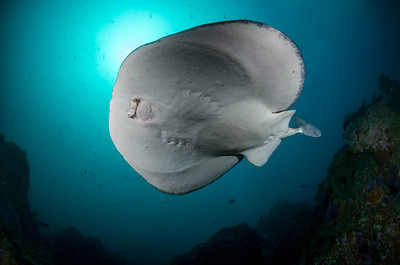 California Electric Torpedo Ray at Farnsworth Banks, Catalina Island, California