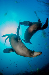 Sealions dance at Santa Barbara Island, California