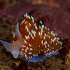Hermissenda Nudibranch