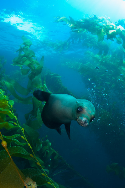 Sea lion pup in the kelp forest.