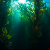 Sunlight streaming into the kelp forest.