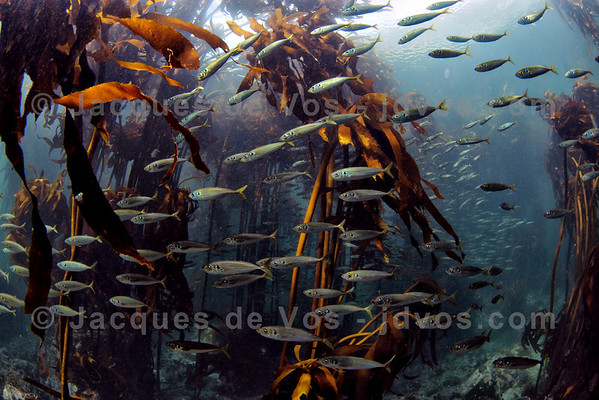 Bait Fish In Kelp