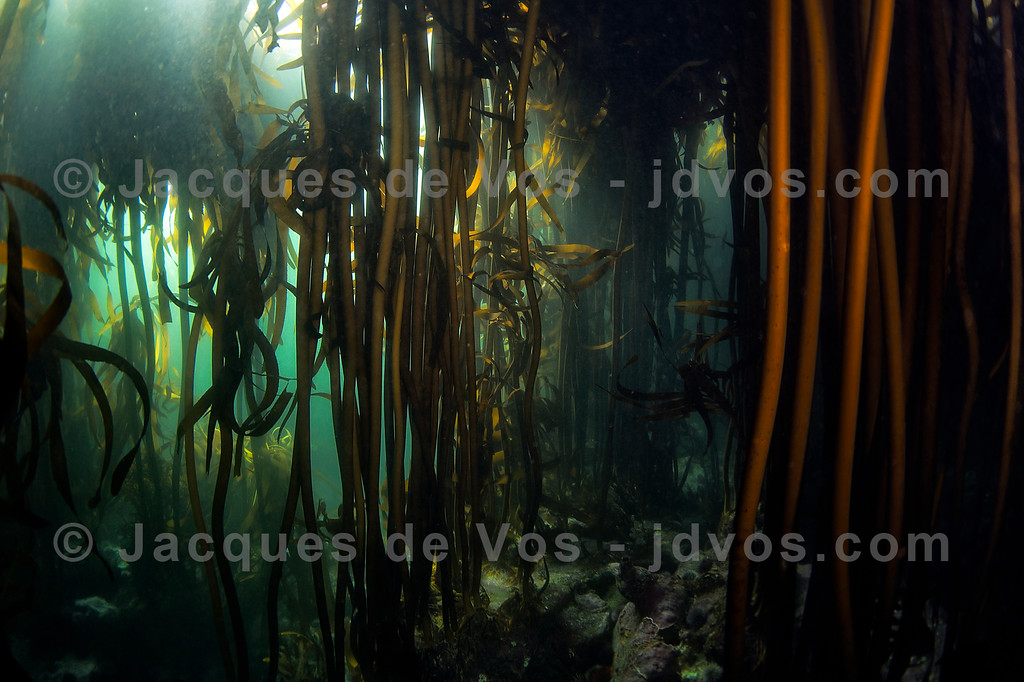Like A Bamboo Forest - Kelp Underwater