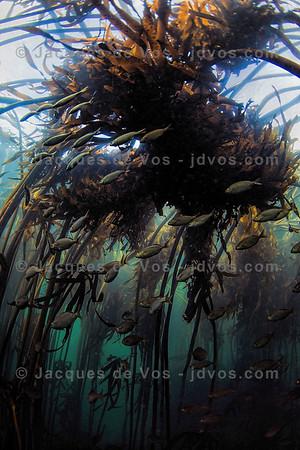 Like Palm Trees In The Wind - Kelp