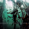Kelp Forest Underwater