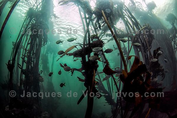 Kelp Forest Underwater