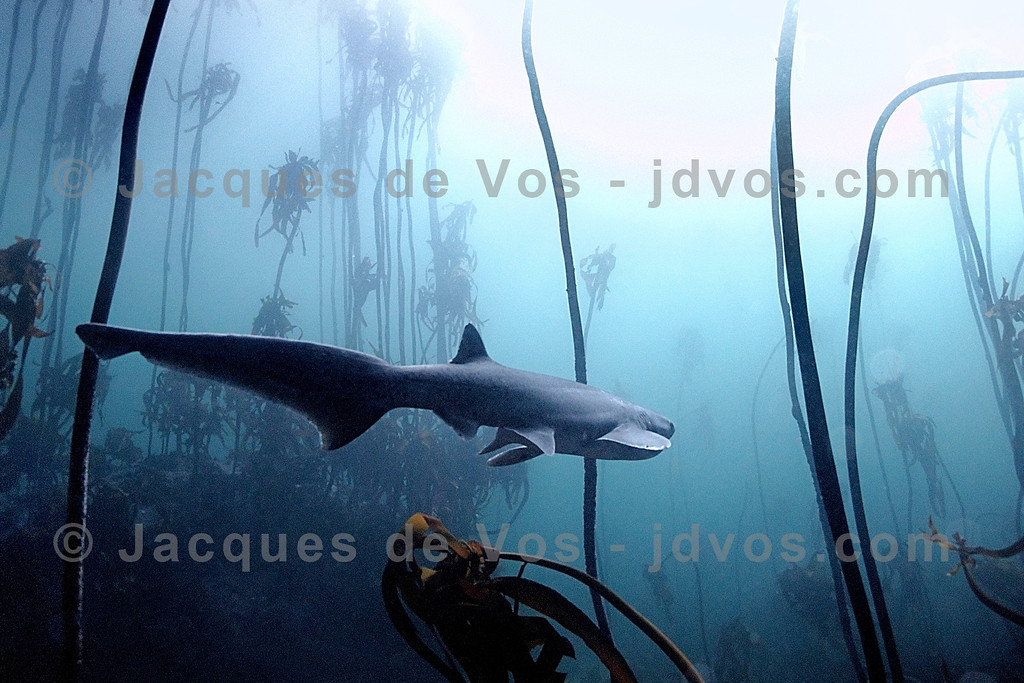 …I am alone with the beating of my heart…<br /> <br /> Broadnose Sevengill Cowshark swimming through a Kelp Forest in Cape Town, South Africa.<br /> <br /> Ikelite Housing for Canon G9