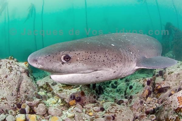 Low Level Flying<br /> <br /> Broadnose Sevengill Shark<br /> <br /> Ikelite 50D Housing (8'' Dome Port)<br /> Ikelite DS-160 Strobes