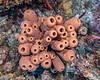 A community of tube sponges