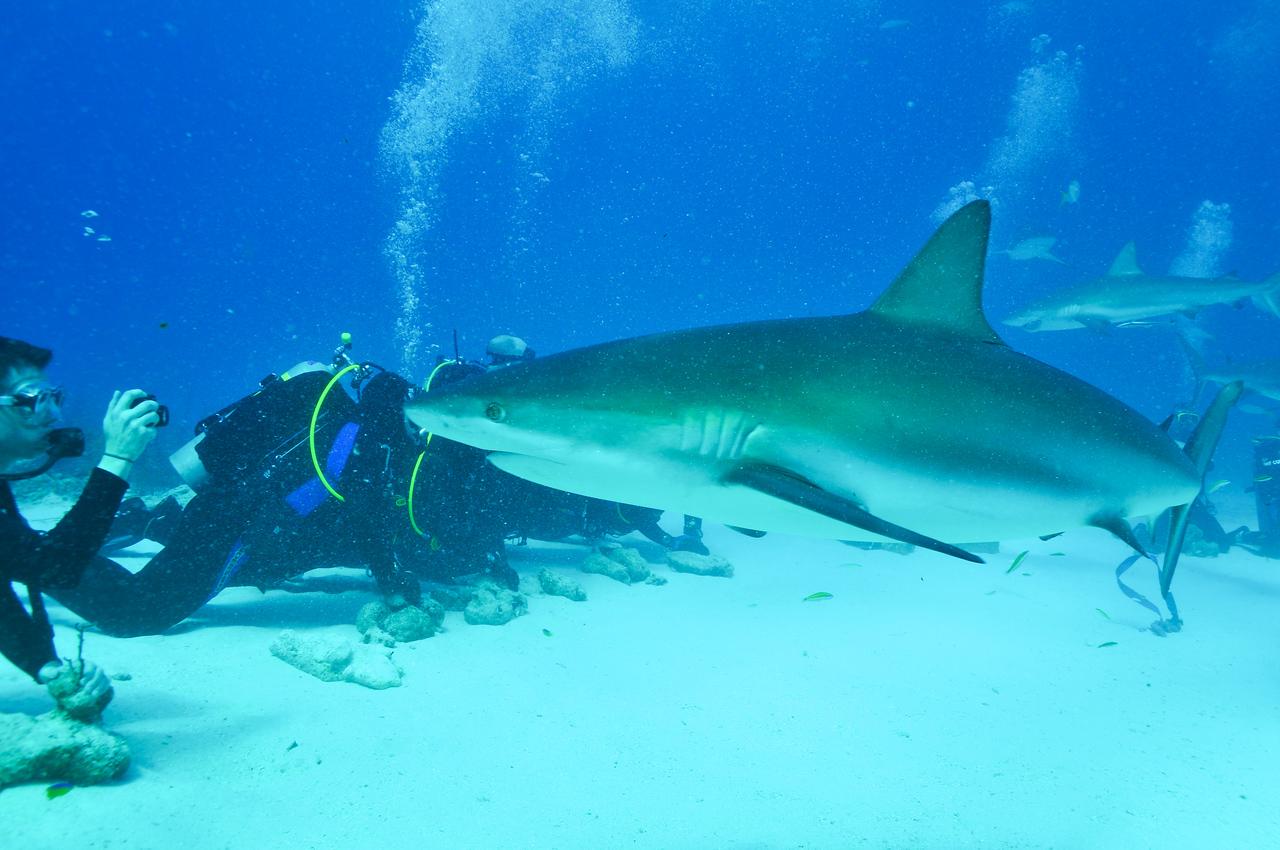 Steve Bond shooting video of curious reef shark, Bahamas - February 2011