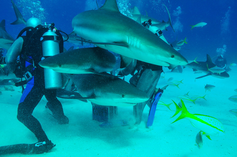 Caribbean Reef Sharks, Bahamas - February 2011