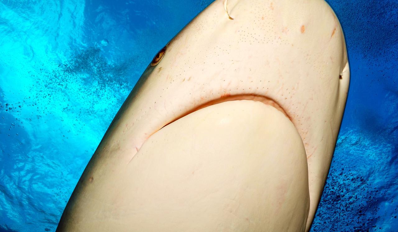 Close up of Caribbean Reef Shark, Bahamas - February 2011