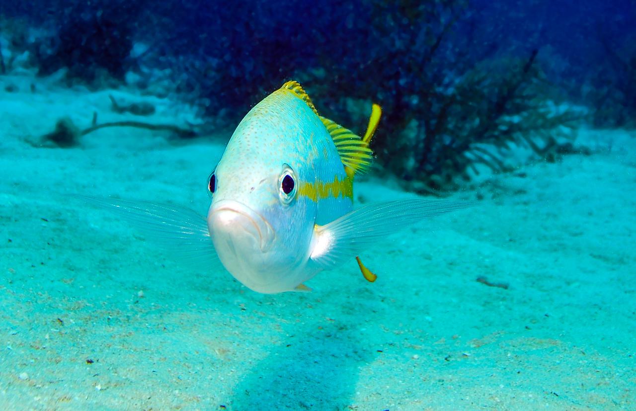 Curious Yellow Tail, Bahamas - February 2011