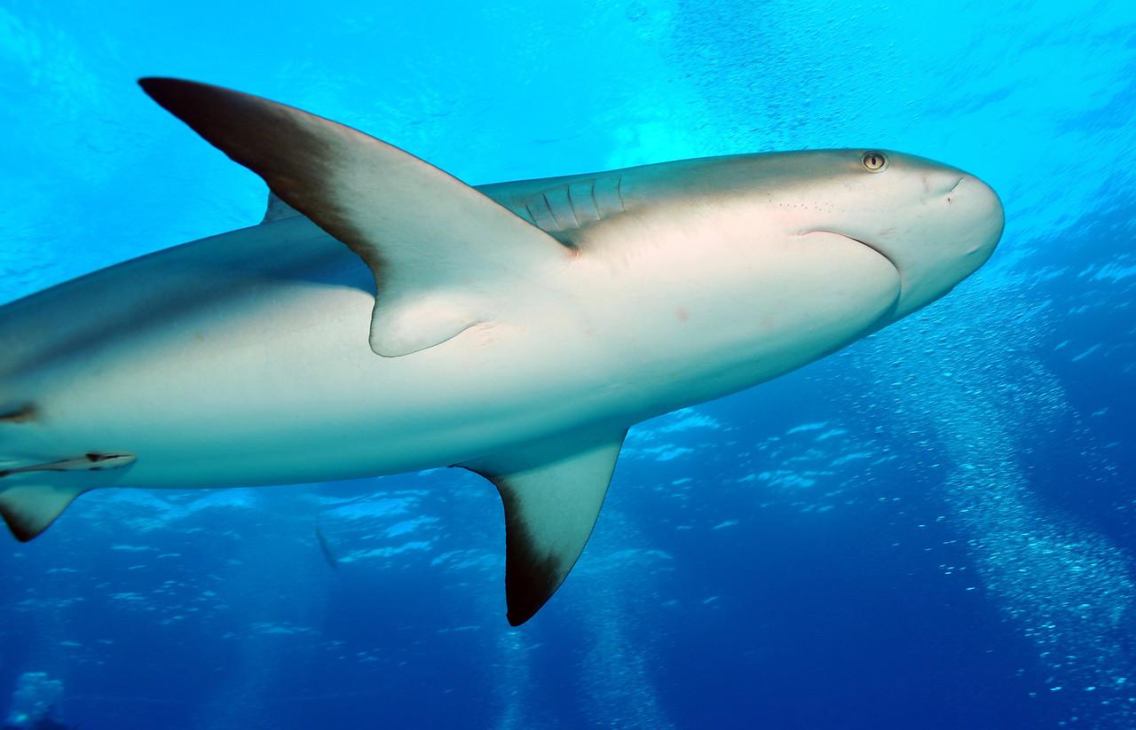 Caribbean Reef Shark, Bahamas - February 2011