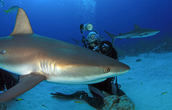 Caribbean Reef Sharks - 2011