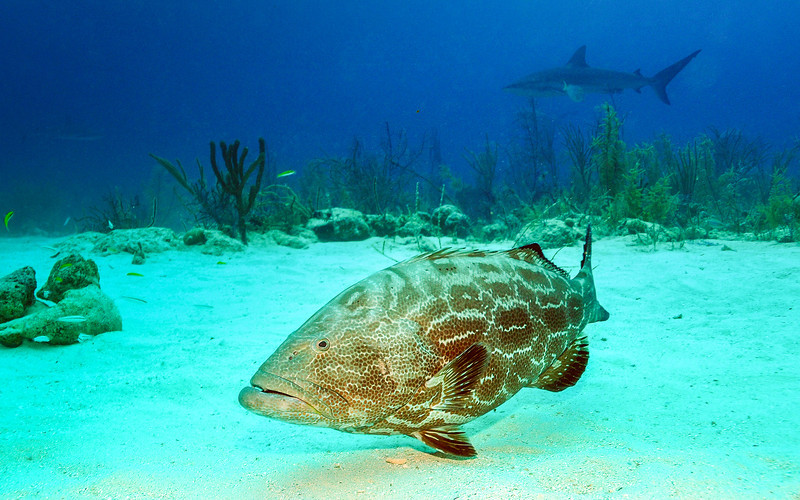 Big Grouper hoping for some scraps, Bahamas - February 2011