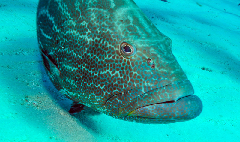 Grouper watching action, Bahamas - February 2011