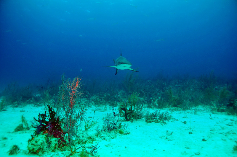Approaching Caribbean Reef Shark, Bahamas - February 2011