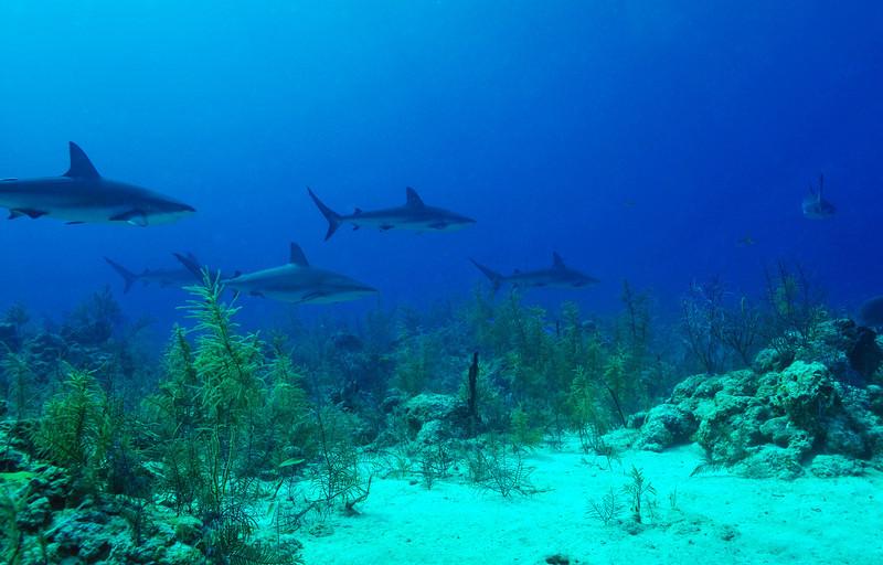 Circling Caribbean Reef Sharks, Bahamas - February 2011
