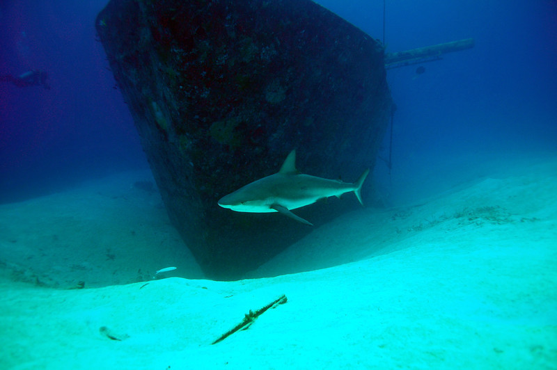 Caribbean Reef Shark in front of Wreck, Bahamas - 2011