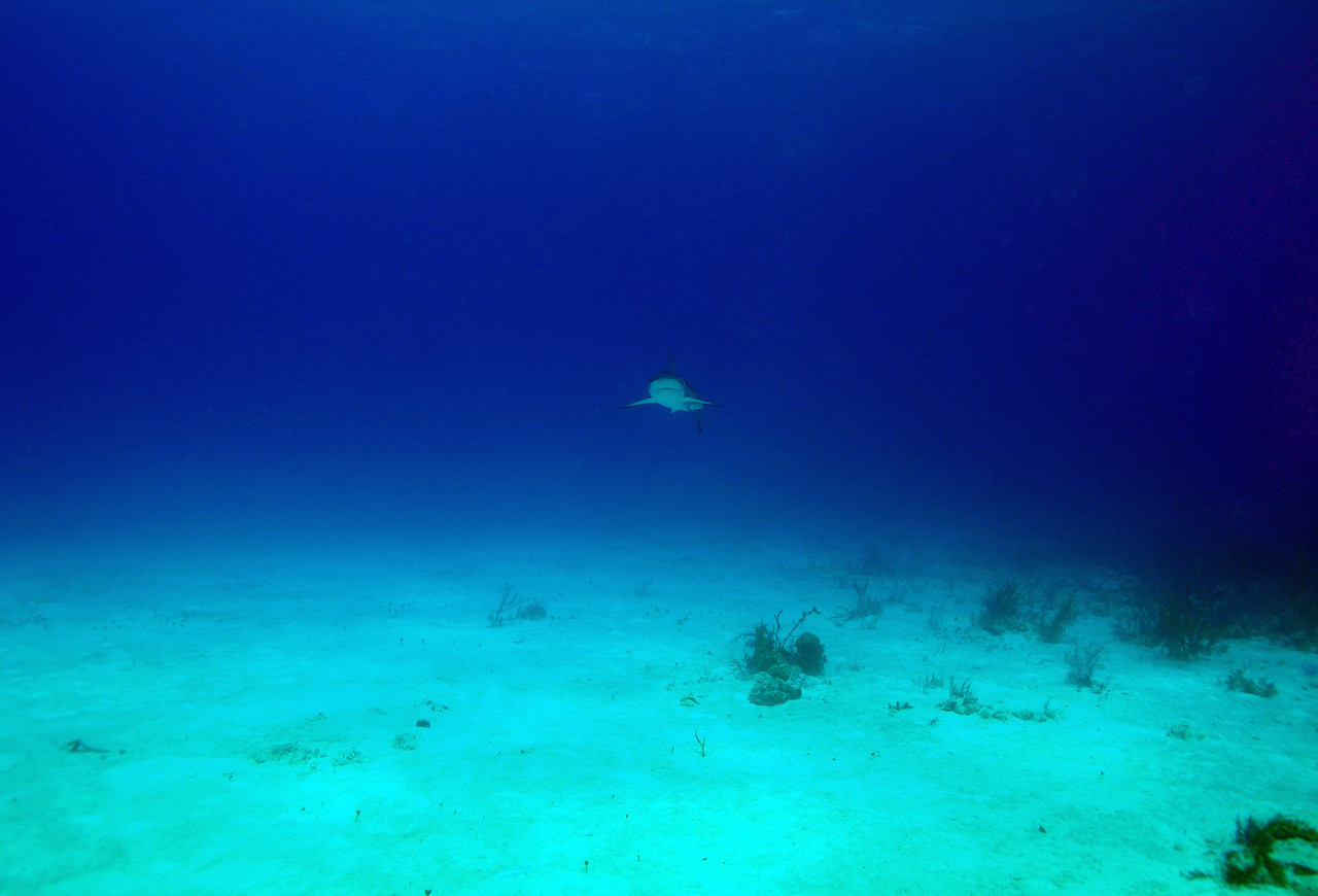 Approaching Caribbean Reef Shark, Bahamas - February 2011