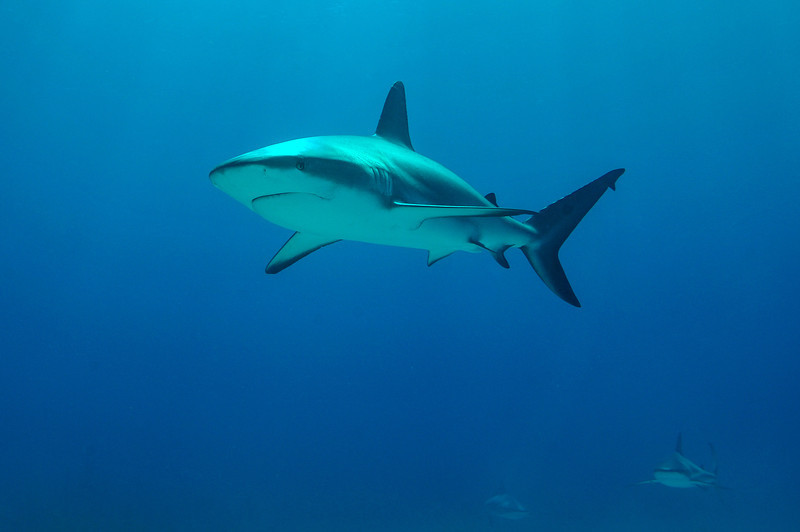 Caribbean Reef Shark, Bahamas - February 2011