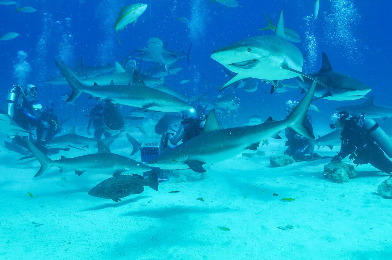 """Disfigured shark locally known as """"The Joker"""" makes an appearance, Bahamas - February 2011"""