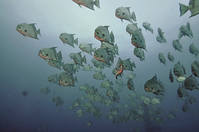 A school of Spade fish haning around the wreck.